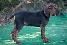 Goofy and Pluto are 15 weeks old walker coonhound mix. They have wonderful playful and loving personalities. Great with kids and other dogs. Energetic and curious about everything new. They are looking for wonderful families to call their...