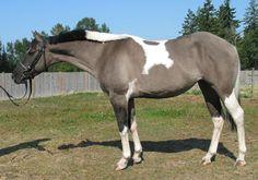 Grulla Pinto sport horse Arabian cross
