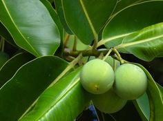 New Oil On the Block: Tamanu Oil for Acne and Acne Scars