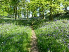 Craig Wood Bluebells