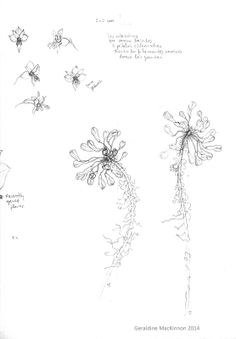 Mi Naturalismo: Alstroemeria revoluta - previous drawings.