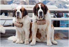 824daece1de4 273 Best Saint Bernard Dogs images in 2019