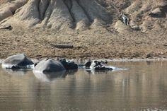 Nijlpaarden familie