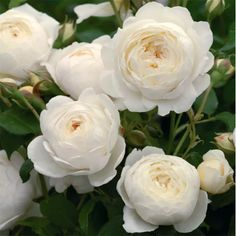 David Austin roses are known for their beauty, strength and individual unique qualities. Each David Austin Rose is special with it's own scent. Claire Austin Rose, Rosas David Austin, David Austin Rosen, David Austin Climbing Roses, White Roses, White Flowers, Rare Flowers, Deadheading Roses, William Ellis