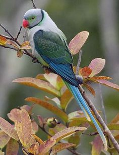A male Malabar Parakeet (also known as Blue-winged Parakeet) near Bhadra Tiger Reserve, Karnataka, India.