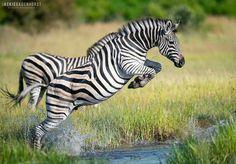 Jumping into the weekend like. Wild Animals Pictures, Animal Pictures, Zebra Pictures, Animals And Pets, Baby Animals, African Antelope, Zebra Art, Wild Creatures, Mundo Animal
