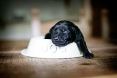 Aww.......cutest little black lab puppy ever