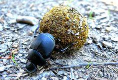 Besouro-rola-bosta (Dichotomius schiffleri): espécie ameaçada de extinção. Endangered specie. Fonte: http://www.supersitegood.com/anexos/curto/2012/20120322,104538.jpg