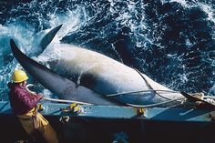 Japan Says It Just Wants to Count Whales—Not Kill Them—in 2015