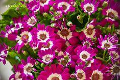 Cinerária (Pericallis x Hybrida) gondozása, szaporítása (Csodaszem) Cineraria, Plants, Flowers