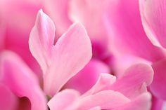 Pink Petals by yoshiko314