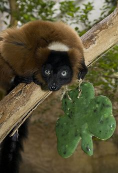 """Red Ruffed Lemur,"" by Smithsonian's National Zoo, via Flickr -- ""The Zoo's 23-year-old male red-ruffed lemur, Joven, enjoyed a tasty St. Patrick's Day frozen treat made of apples, pears, cucumbers, honeydew and diluted fruit juice. This frozen ""treat"" is a healthy supplement to his diet and provides a boost for his active and social lifestyle—no blarney!"""