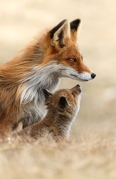 "Fox Cub: ""Mom, what's troubling you?""  The Vixen replies: ""Son, I must hide you safely; I smell horses, riders and hounds fast approaching..."""