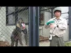 安佐動物公園イケメン飼育員さんとイケメンマンドリル
