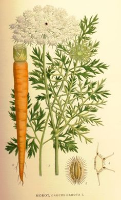 Carl Axel Magnus Lindman (1917-1926) - Bilder ur Nordens Flora #botanical #illustration