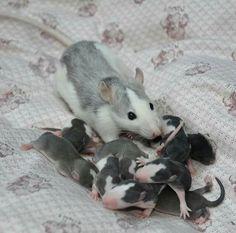Mama and Baby Rats. So sweet! Animals And Pets, Baby Animals, Funny Animals, Cute Animals, Strange Animals, Cute Creatures, Beautiful Creatures, Animals Beautiful, Rata Dumbo