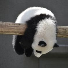 People love Pandas they are like babies. They are cute and cuddly.But do you know that a giant panda is actually a bear. Here are Interesting Fun Facts About Panda You Probably Didn't Know Before. Funny Panda Pictures, Cute Animal Pictures, Baby Pictures, Cute Little Animals, Cute Funny Animals, Photo Panda, Panda Lindo, Baby Panda Bears, Baby Pandas