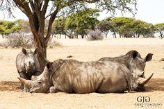 Rhino. Wildlife photo taken at Dronfield Nature Reserve outside Kimberley. #rhino #wildlife #nature #photography #gertjgagiano