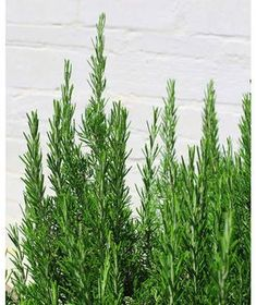 Rosemary - Mosquito Repellent Grow these in your garden or plant them in a pot to keep the bugs away. Rosemary - Mosquito Repellent Grow these in your garden or plant them in a pot to keep the bugs away. Outside Plants, Patio Plants, Outdoor Plants, Garden Plants, Outdoor Gardens, Dry Garden, Garden Beds, Landscaping Plants, Potted Plants
