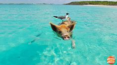 Beach Thursday Pic of the Week - Pigs and Birds, and Boats, Oh My!
