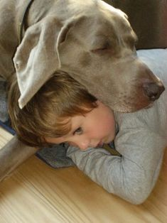 """But Weimaraners also love kids who act as pillows! From your friends at phoenix dog in home dog training""""k9katelynn"""" see more about Scottsdale dog training at k9katelynn.com! Pinterest with over 18,000 followers! Google plus with over 119,000 views! You tube with over 350 videos and 50,000 views!! Twitter 2200 plus;)"""