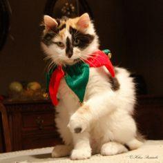 Calico Christmas cat