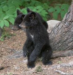 Daisy's cubs- UPDATE June 7, 2017 - The Wildlife Research Institute