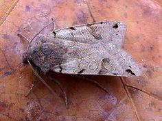 The Moths of Suffolk - 2266 Brown-spot Pinion, Agrochola litura, (Linnaeus, Linnaeus, Mothman, Brown Spots, Tapestries, Insects, British, Butterflies, Hanging Tapestry, Tapestry