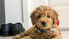 8 Things to Know About the Miniature Goldendoodle (Mini Goldendoodle) - Animalso Chien Goldendoodle, Goldendoodle Full Grown, Miniature Goldendoodle Puppies, Goldendoodle Haircuts, Cavapoo, Toy Puppies, Mini Doodle, Doodle Dog, Golden Doodle Mini