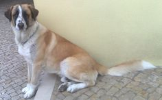 """handsomedogs:    this was my friend rufus, he died at 2 with leukemia. I still miss him, he was an hell of a dog! Portuguese breed called """"Rafeiro Alentejano"""""""