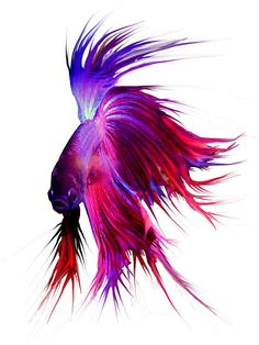 The Siamese fighting fish (Betta splendens) Pretty Fish, Beautiful Fish, Colorful Fish, Tropical Fish, Aquascaping, Beautiful Creatures, Animals Beautiful, Siamese Fighting Fish, Underwater Life