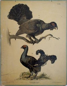 our chart of the day: wood grouse from 1910. $145