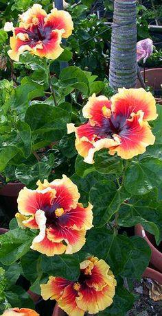 Hibiscus Tahitian Lion Queen More