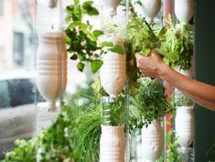 Plantar hierbas en botellas colgantes junto a una ventana (menta, poleo, perejil, etc)