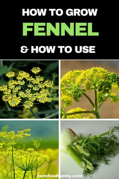 Check out this article to know the cultivation tips for keeping your growing fennel healthy and tasty | Growing Herbs at home #herb #gardening #farmfoodfamily