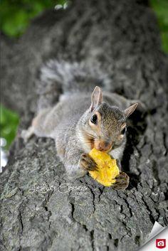 Wauw, zo'n kans krijg je als fotograaf niet vaak, om een eekhoorn van zo dichtbij vast te leggen! Hij lijkt er zelfs ontspannen bij te zitten! Gefeliciteerd met deze bijzondere foto van de dag, LC Photography & Design!  Bekijk meer dierenfoto's van Liselotte: http://lcpd.zoom.nl/