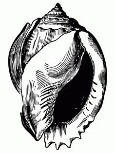 Antique Shell Drawing - Click for full page printable