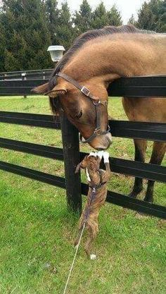 Even horses think boxer kisses are the best! Horses And Dogs, Animals And Pets, Baby Animals, Funny Animals, Cute Animals, Mundo Animal, My Animal, Boxer Puppies, Dogs And Puppies