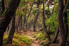 Pine tree #2 - Pine trees in Samreung, Kyeongju, Korea.