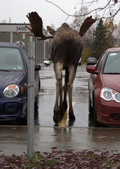 Moose on the street in Alaska. *shrug* Pretty common.