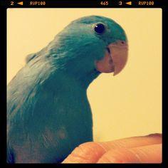 #parrotlet, #parrot, #bird, #blue, #pet, #instagram This is my little baby #birdie, #Muffin