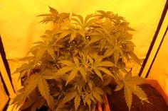 My Pandora by ~Gibonso on deviantART Pandora, Herbs, Deviantart, Plants, Herb, Plant, Planets, Medicinal Plants