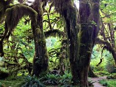 Hall of Mosses — Washington Trails Association, Olympic National Park