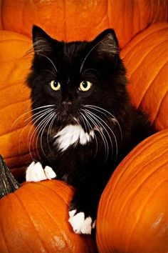 cat in pumkins