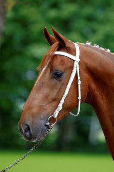 KWPN Harness Stallions in performance test - Horses International