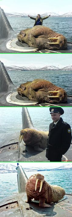 Real - The top image is fake. It is just a photoshop of the second image. - All the rest of the images are real and show a Walrus on a Russian Submarine. Sea mammals quite frequently hitch a ride on surfaced submarines. Discussion here: http://www.reddit.com/r/pics/comments/1it30f/a_walrus_asleep_on_a_russian_submarine/