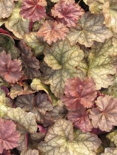 "Coral Bells Heuchera ""Encore"" - Rose purple leaves with a silvery sheen, with cream flowers. More plant info here too: http://www.lowes.com/cd_Lowes+Plant+Guide_253427968_?url=plant.aspx?code=GCS03076"