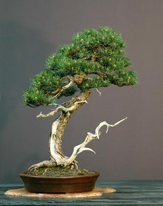 About The Art of Bonsai Project. An effort to explore the aesthetic and artistic elements of bonsai, including technical composition, presentation, display and other ways in which bonsai impacts the human eye and soul. Bonsai Acer, Pine Bonsai, Bonsai Plants, Bonsai Garden, Bonsai Trees, Bougainvillea Bonsai, Mugo Pine, Indoor Bonsai, Miniature Trees