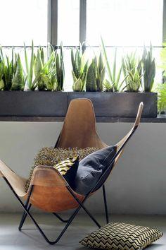 sukkulentenarten Bogenhanf schöne und stilvolle zimmerpflanze