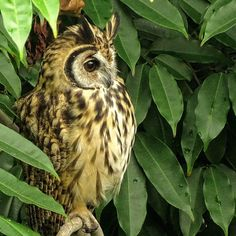 Striped Owl - null